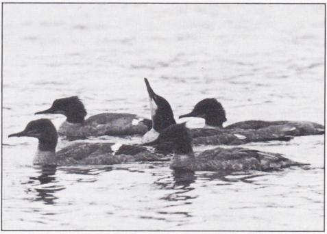 Körfågeln. Bild 1