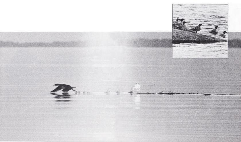 Körfågeln. Bild 3