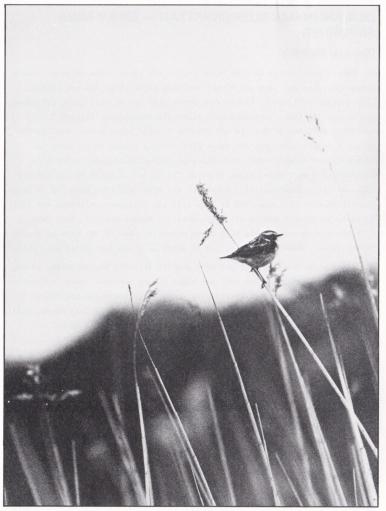 Den anonyma buskskvättan. Bild