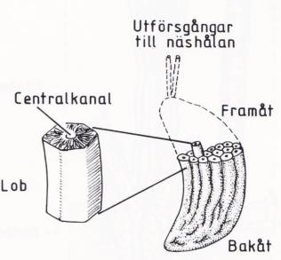 Saltkörteln - ett livsviktigt organ. Bild 1